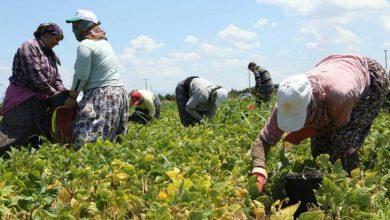 tarımda çalışan işçi kadınlar